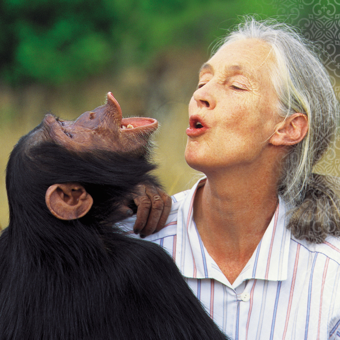 chimpanzee experiences